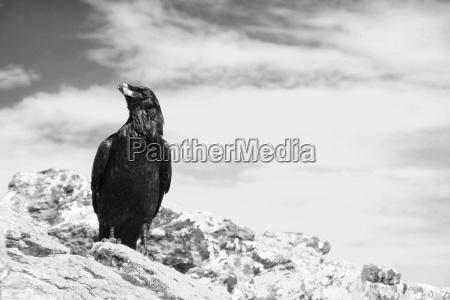 uccello uccelli necrofago male cattiveria corvo