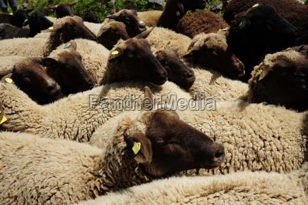 pecorapecoraanimali da fattoriafattoria degli animalizootecniazootecniazootecniaagricolturaanimalianimale