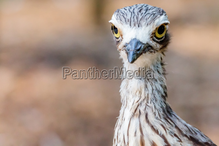 uccello brush stone curlew
