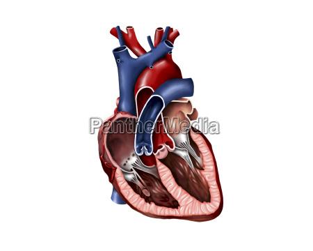 sezione trasversale del cuore umano