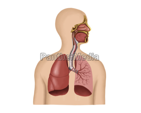 anatomia del sistema respiratorio umano